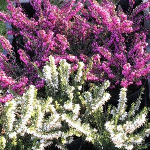 Ericas - winter flowering heathers  1L